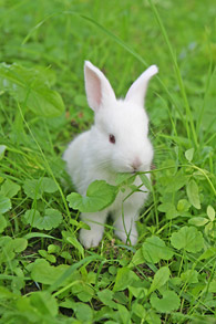 Homeopathy for your pet rabbit in Sydney